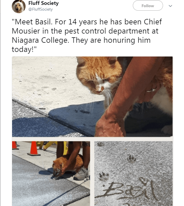 """Text - Text - Fluff Society Follow @FluffSociety """"Meet Basil. For 14 years he has been Chief Mousier in the pest control department at Niagara College. They are honuring him today!"""""""