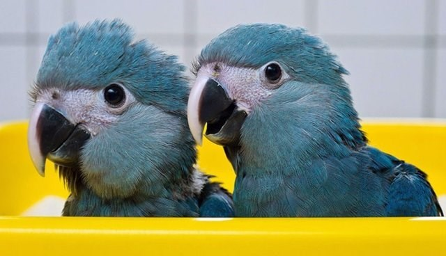 two Spix's macaws inside yellow tub