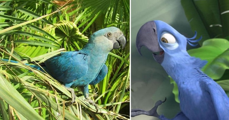 real life Spix's Macaw next to Rio movie version