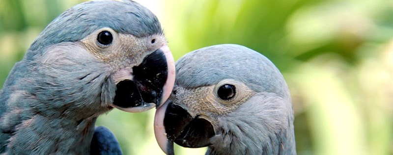 two Spix's macaws touching their beaks lovingly