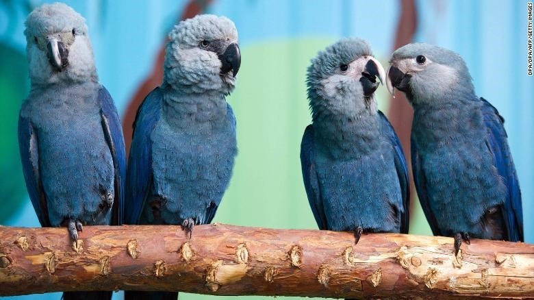 two pairs of blue parrots sitting on branch