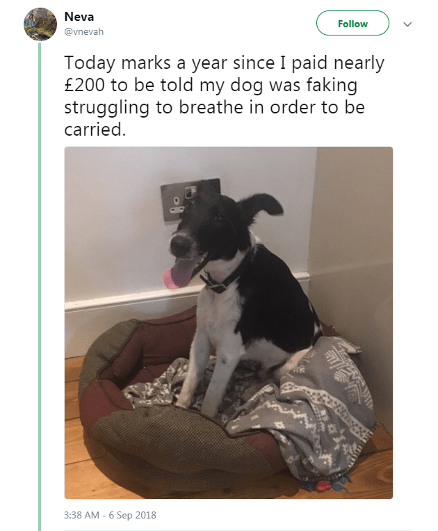 Dog - Neva Follow @vnevah Today marks a year since I paid nearly £200 to be told my dog was faking struggling to breathe in order to be carried 3:38 AM - 6 Sep 2018