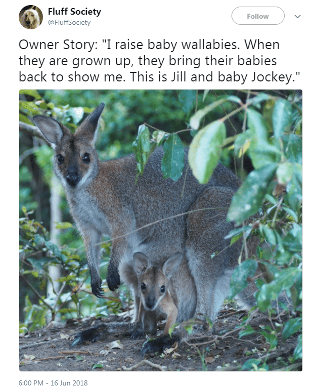 """Vertebrate - Fluff Society Follow @FluffSociety Owner Story: """"I raise baby wallabies. When they are grown up, they bring their babies back to show me. This is Jill and baby Jockey."""" 6:00 PM 16 Jun 2018"""