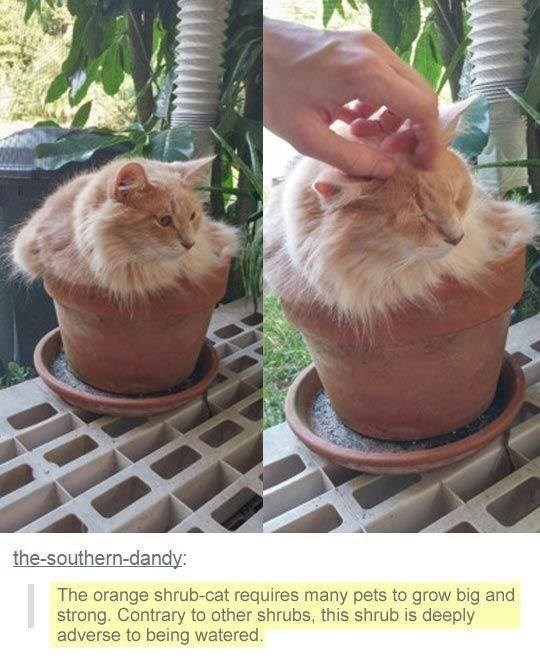 Cat - the-southern-dandy: The orange shrub-cat requires many pets to grow big and strong. Contrary to other shrubs, this shrub is deeply adverse to being watered.