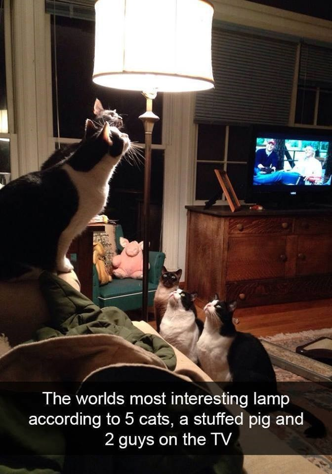 Photo caption - The worlds most interesting lamp according to 5 cats, a stuffed pig and 2 guys on the TV