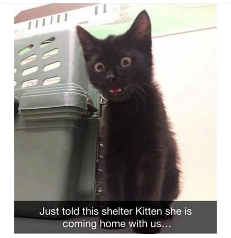 Cat - Just told this shelter Kitten she is coming home with us...