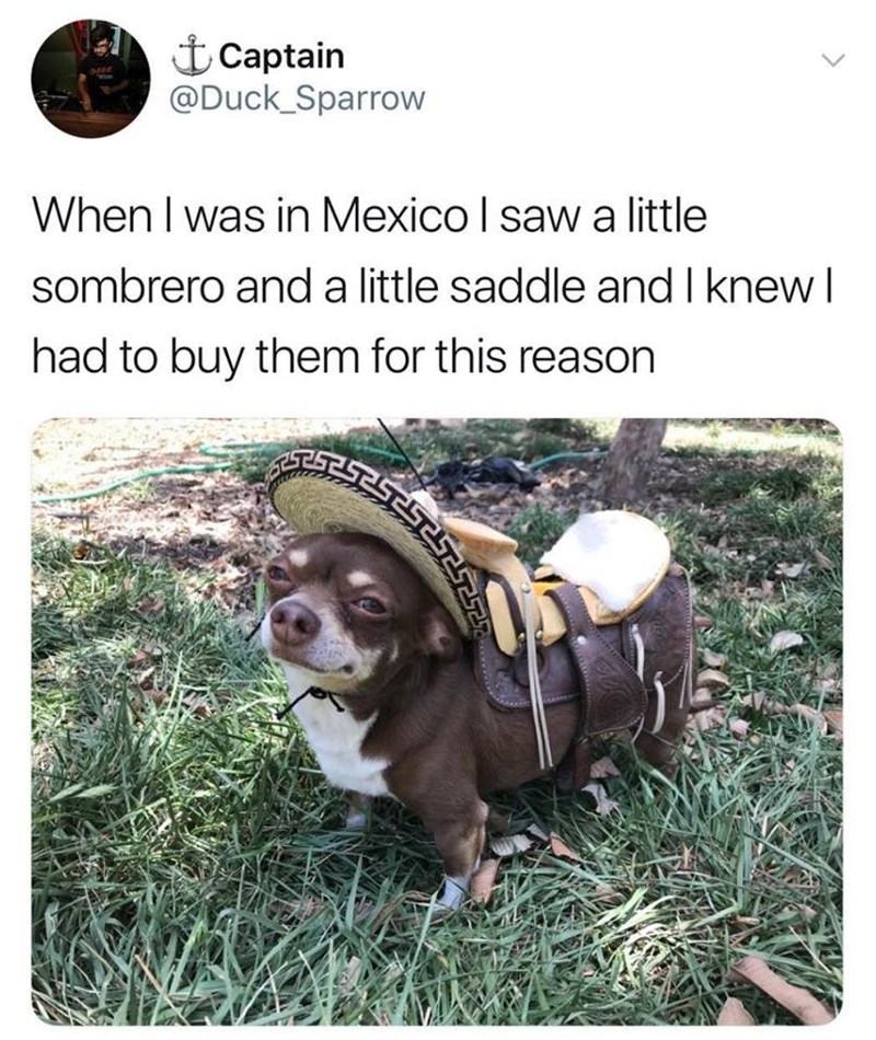 chihuahua wearing a sombrero and a saddle on a grassy area