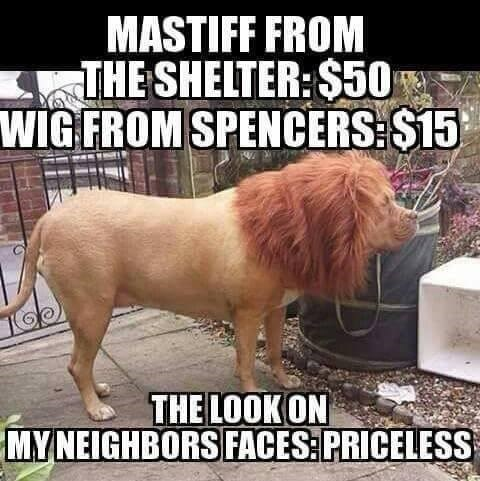 dog wearing a lion wig and scaring the neighbors