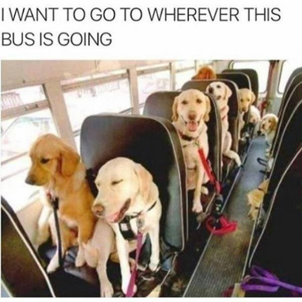 golden retrievers sitting on a school bus