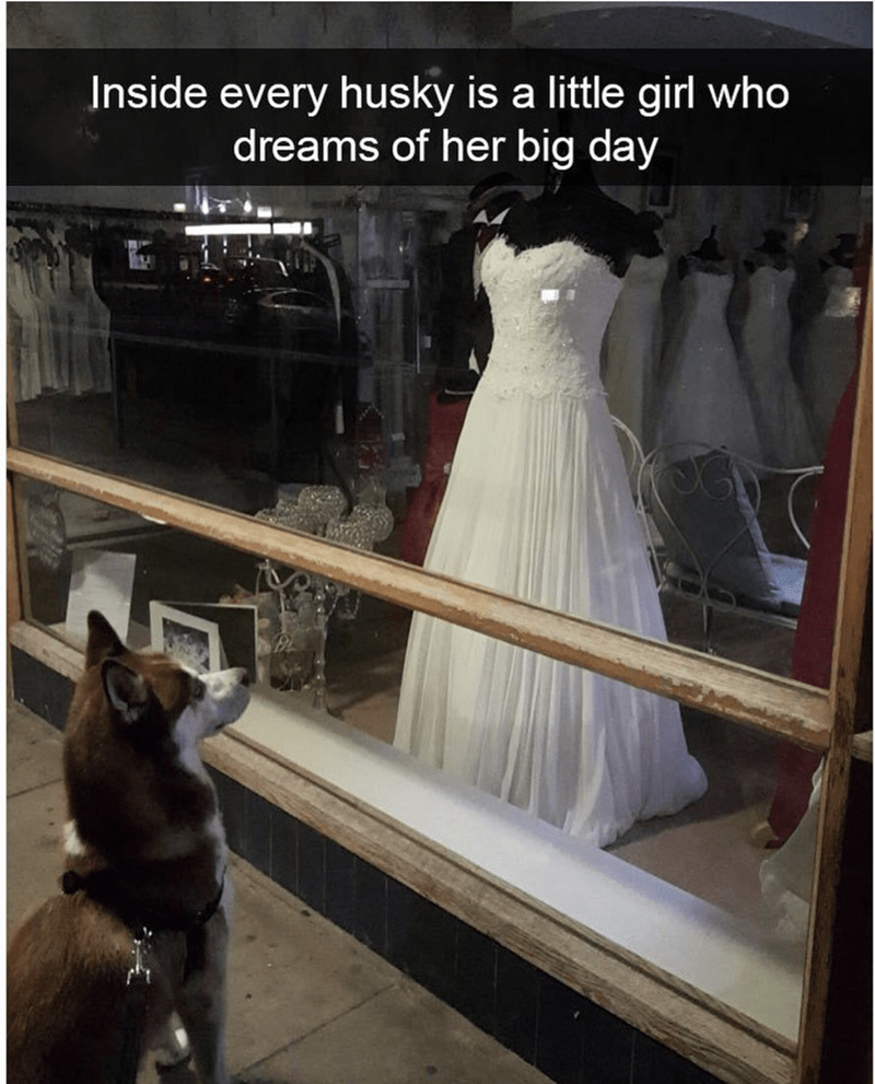 husky staring at a wedding dress through a glass window