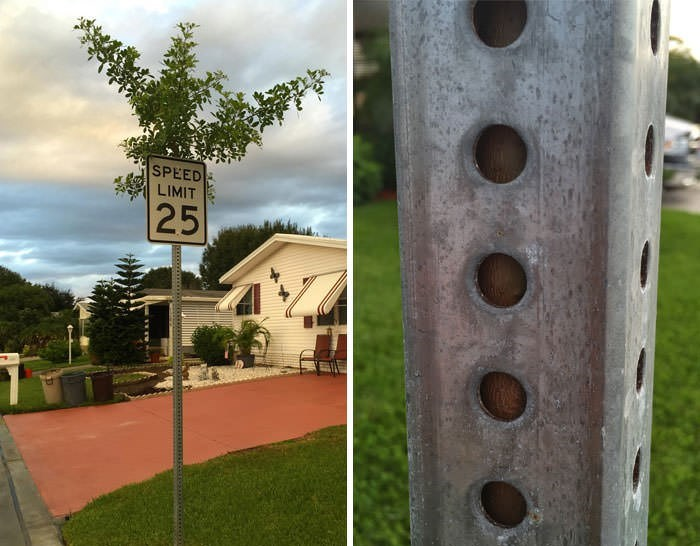 tree that grew within a pole