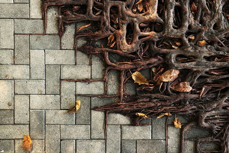 trees roots follow the pattern of the paved sidewalk