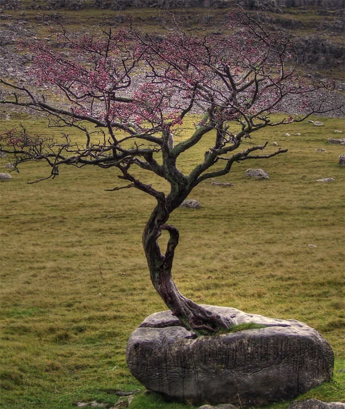 tree that grew on a rock in the middle of a grassy area