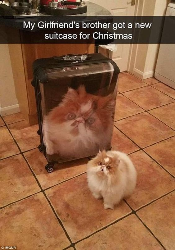 Cat - My Girlfriend's brother got a new suitcase for Christmas O IMGUR