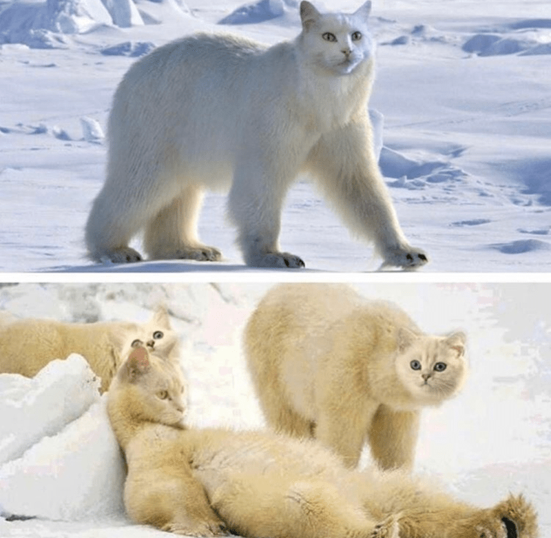 photoshopped pictures of polar bear with cat faces