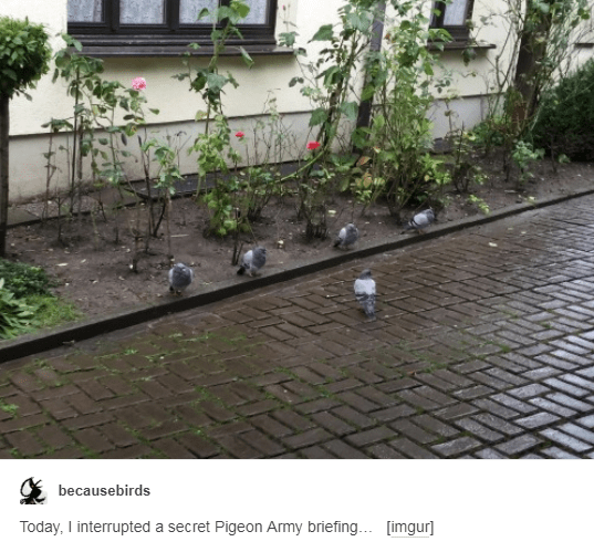 Water - becausebirds Today, I interrupted a secret Pigeon Army briefing.. [imgur]