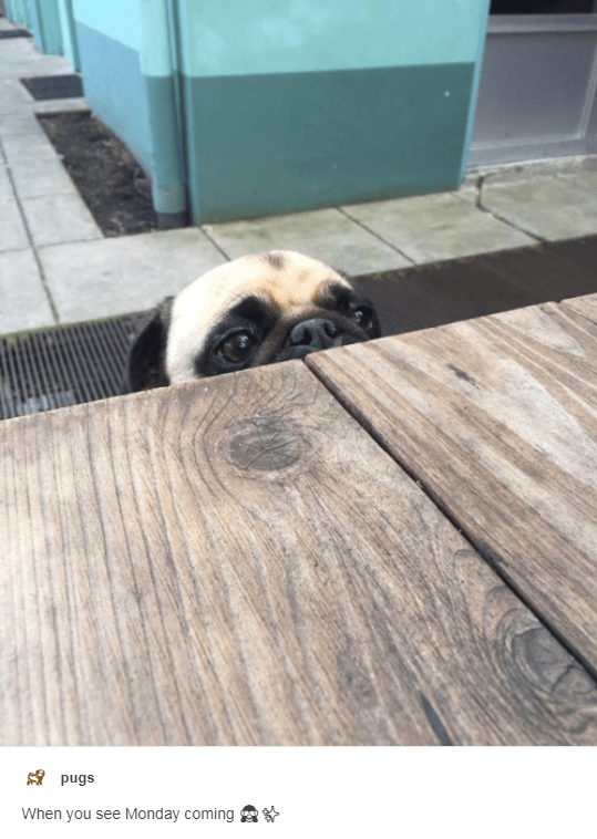 Floor - pugs When you see Monday coming
