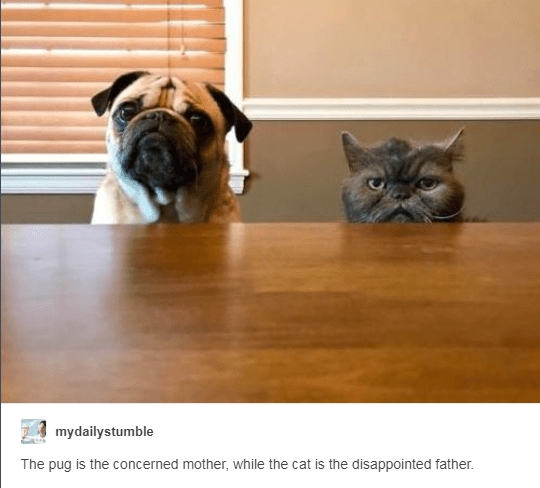 Dog breed - mydailystumble The pug is the concerned mother, while the cat is the disappointed father.