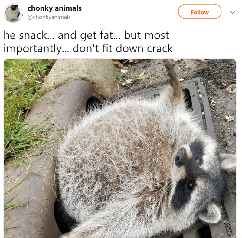 Snout - chonky animals @chonkyanimals Follow he snack... and get fat... but most importantly... don't fit down crack