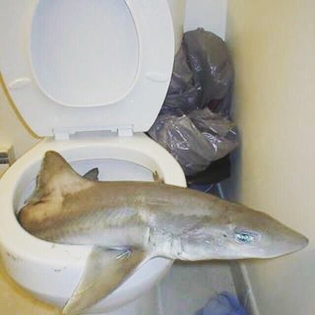 pic of shark sticking outside of toilet