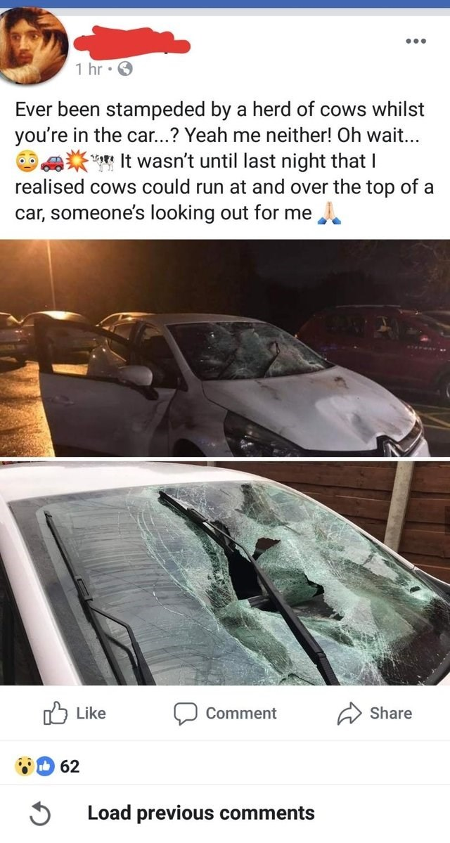 unfortunate moments of car that was trampled by cows