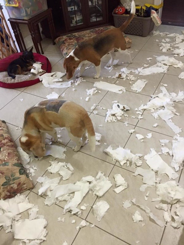 unfortunate moments when your dogs chew up toilet paper in your home