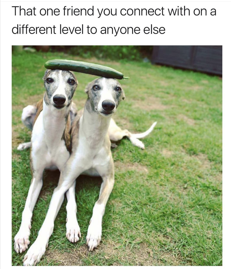 dog meme about best friends with pic of two dogs balancing a cucumber on their heads