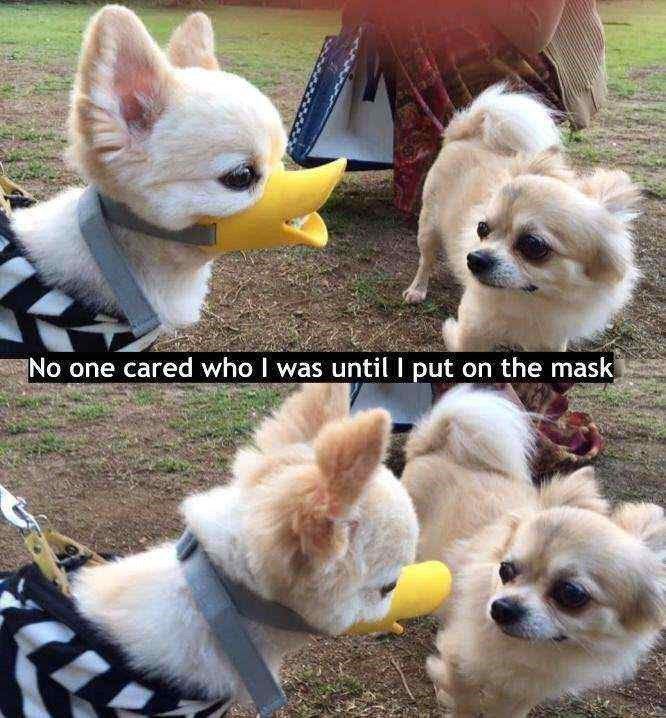 dog meme with pics of dog wearing a duck bill shaped mask on its snout
