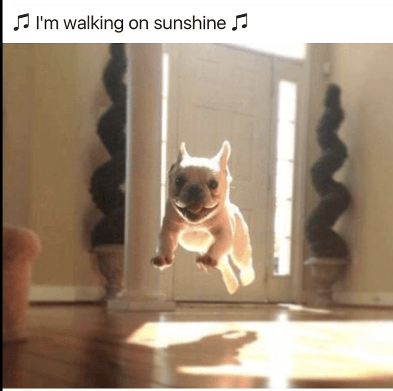 "dog meme with pic of puppy jumping while singing ""I'm walking on sunshine"""