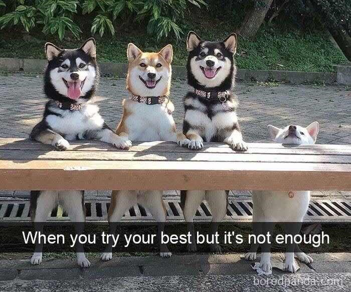 dog meme about trying and failing with pic of dog who can't stand on hind legs