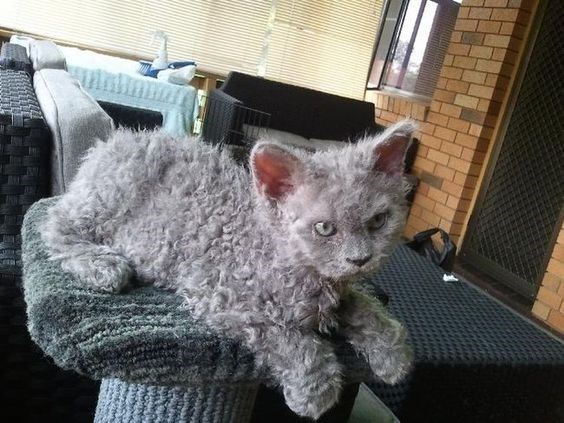 grey poodle cat sitting and looking angry
