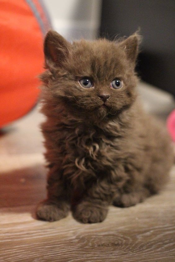 brown poodle cat with blue eyes standing on the floor