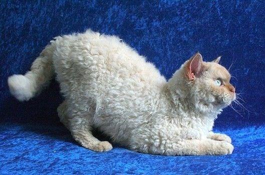 white poodle cat sitting on blue velvet