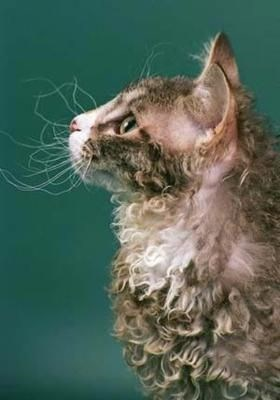 poodle cat staring into space with its whiskers standing out