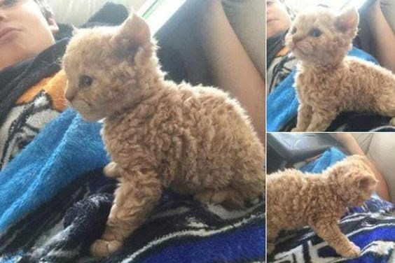 golden poodle cat sitting on a persons chest
