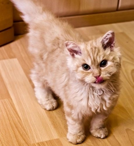 golden poodle cat looking its mouth and standing