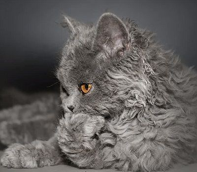 grey poodle cat with it paw in its mouth