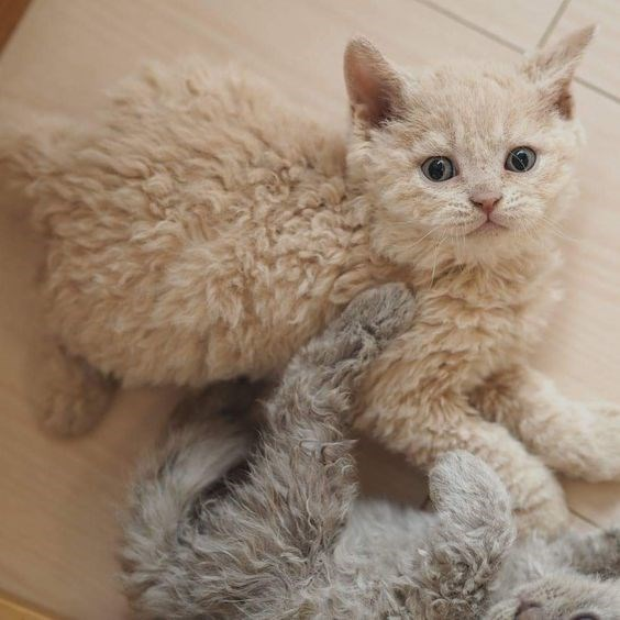two poodle cats playing footsie