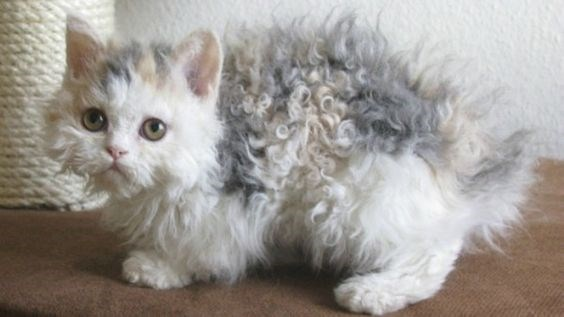 grey and white poodle kitten standing on the floor and looking scared