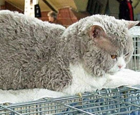 grey and white poodle cat sitting on top of a laundry rack
