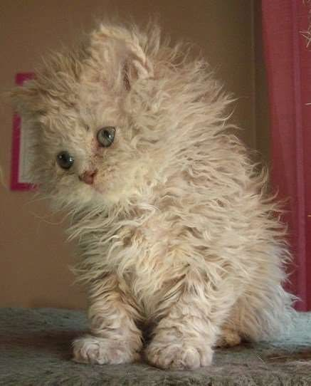 white poodle kitten standing with its hand turned to the left slightly