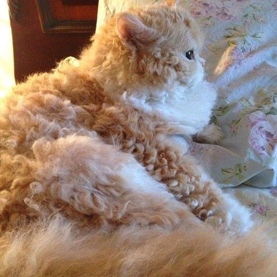 golden poodle cat sleeping on a bed with flowers