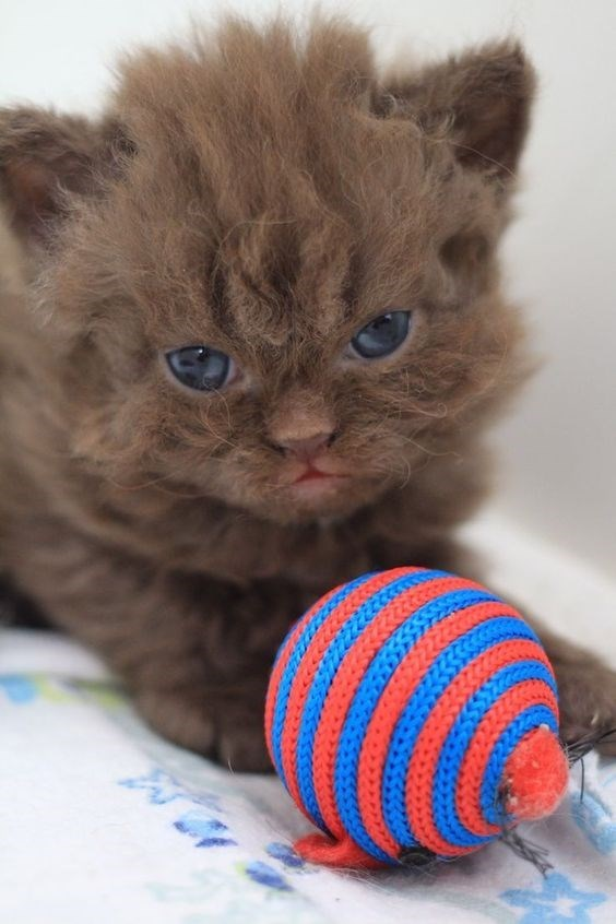 brown poodle cat sitting next to a toy