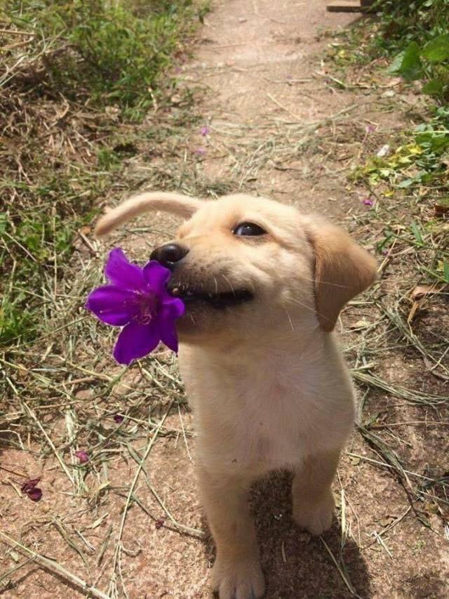 puppy golden retriever outdoors holding a purple flower in its mouth