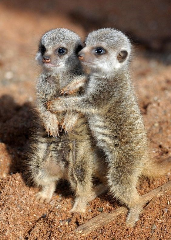 two baby meerkats hugging each other while standing outside