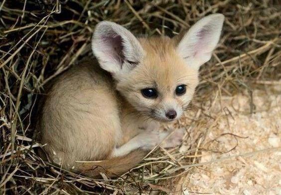 baby fennec fox huddled in a grassy area