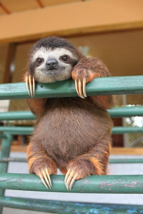 sloth standing over a railing and looking around
