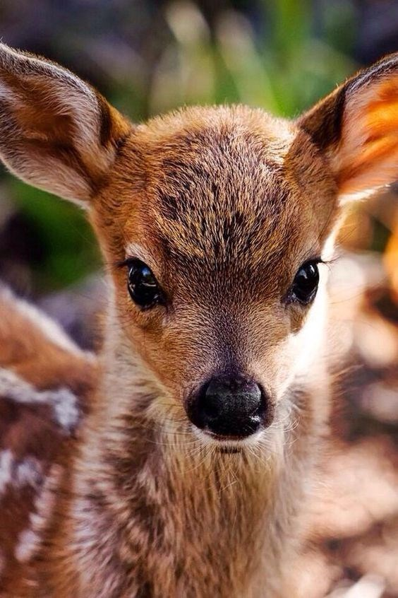 baby deer staring directly into the camera outdoors