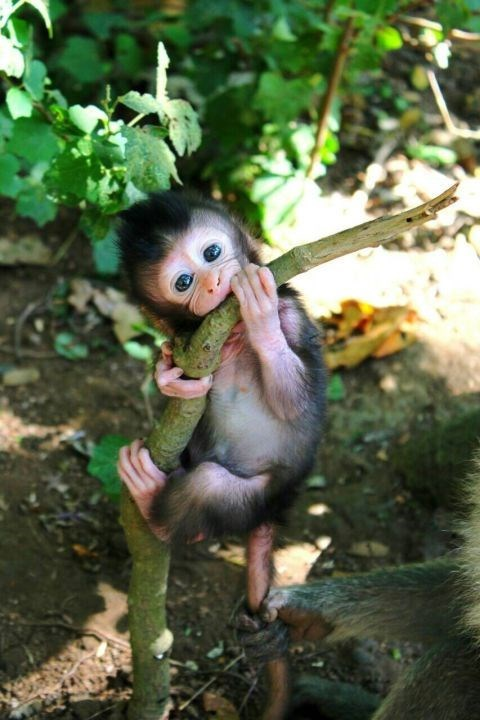 baby monkey climbing on a tree and chewing the bark