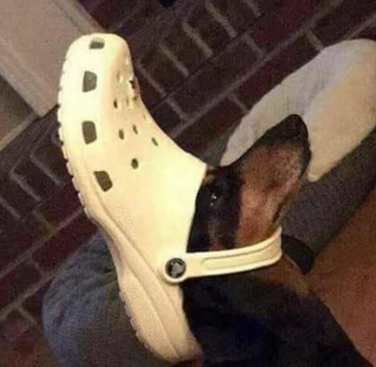 cursed image of dog wearing a Croc shoe on its head
